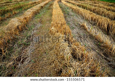 Paddy fields after harvest. - stock photo