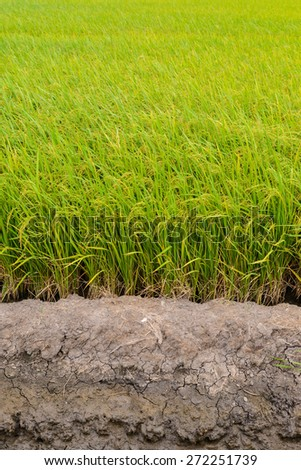 Paddy green Rice Fields in Thailand. white background - stock photo