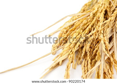 paddy on white background - stock photo
