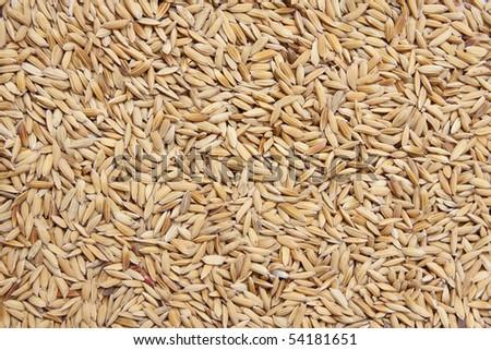 Paddy rice - stock photo