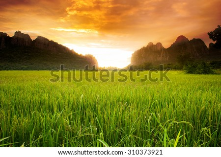 Paddy rice field background and sunrise  - stock photo