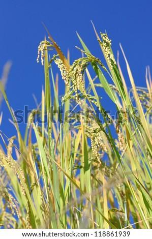 Paddy rice field, blue sky - stock photo