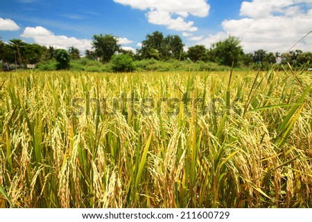 paddy rice field in blue sky - stock photo