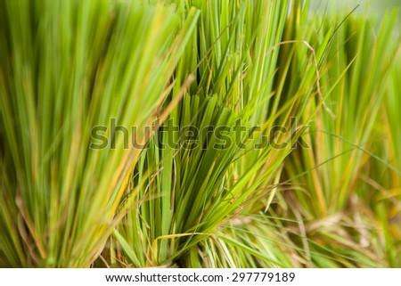 paddy rice field in thailand - stock photo