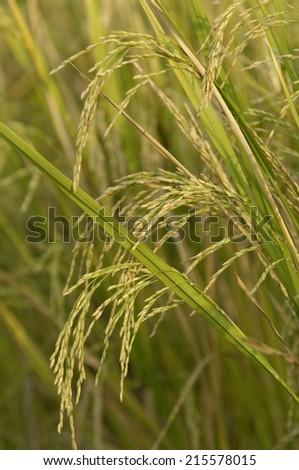 Paddy Rice field near Mumbai, India. - stock photo