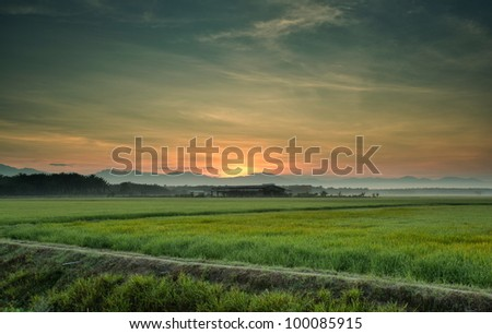 paddy rice field ready for harvest. - stock photo