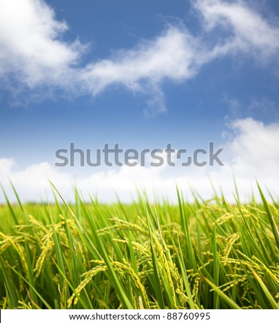 paddy rice field with cloud background - stock photo