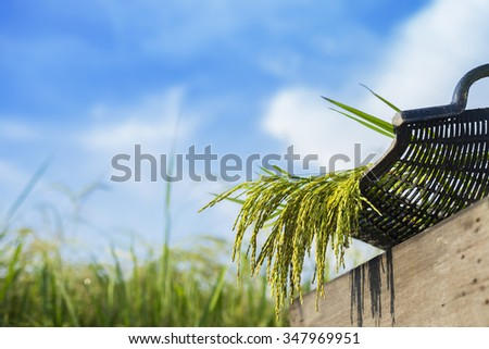 Paddy rice in basket with blue sky background. Selective focus, shallow depth of field. - stock photo