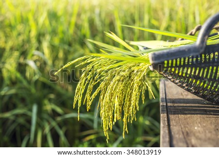 Paddy rice in basket with paddy field background. Selective focus, shallow depth of field. - stock photo