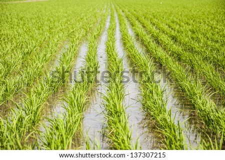 Paddy rice in field. - stock photo