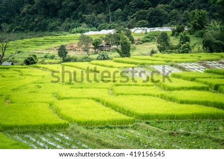 Paddy rice in Thailand