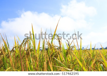 paddy rice  in Thailand  for background