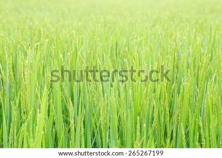 Paddy rice plant field. - stock photo