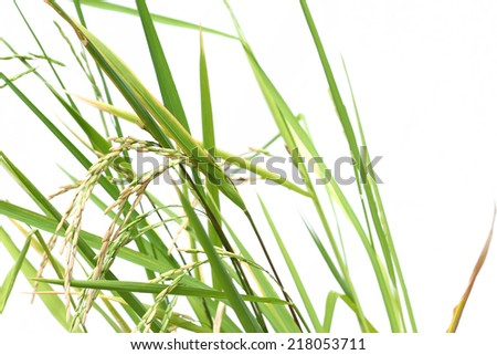 Paddy rice started to grow on white background