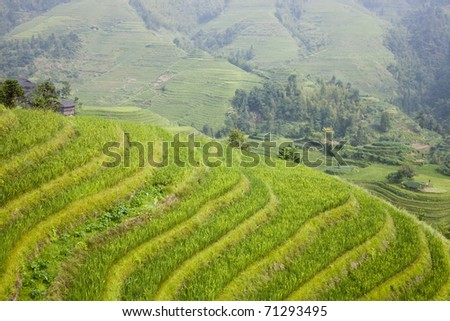 Paddy rice terraces
