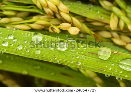 paddy rice with water drop - stock photo