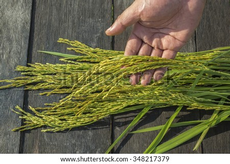 Paddy seeds holding by hand in field