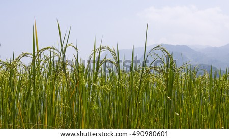 Paddy with Mountain Background