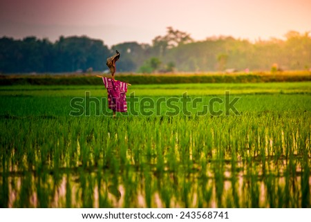 paddy with scarecrow and sunlight - stock photo
