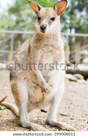 pademelon smallest kangaroo in australia - stock photo