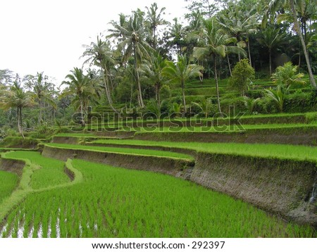 Padi Field, Gunung Kawi, Bali, Indonesia - stock photo