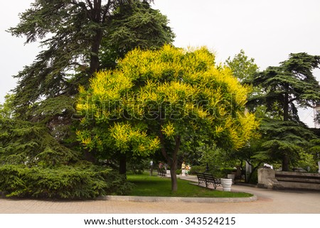 Pagoda tree (Sophora japonica) - stock photo