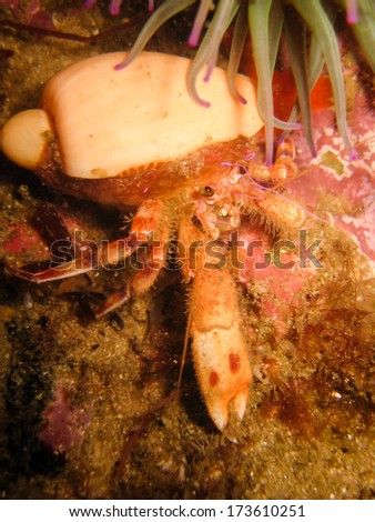 Pagurus prideaux (Hermit Crab) - stock photo