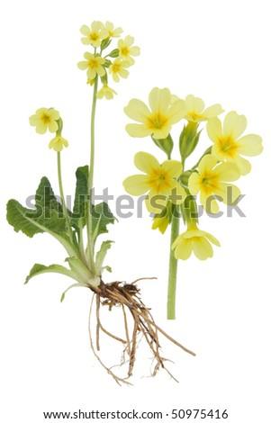 Paigle- Primula verist on white background. - stock photo