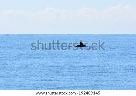 PAIHIA,NZ - MAY 11 2014:Dolphin swim at sea.Commercial whaling was outlawed in 1986 by the International Whaling Commission, but dolphin hunts remain legal.