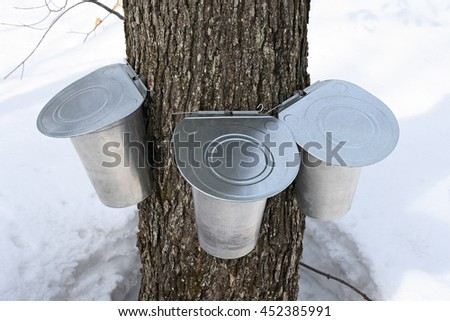 Pails on a maple tree for collecting sap. Maple syrup production, springtime. - stock photo