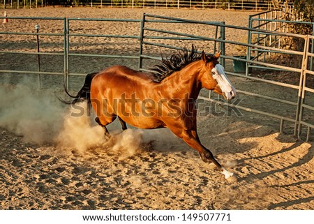 Paint Horse galloping in Roundpen - stock photo