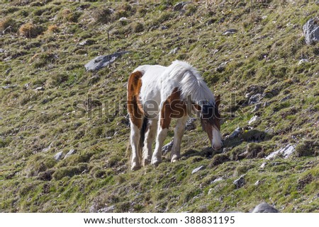 Rhodope Shorthorn Cattle On Mountain Meadow Stock Photo ...
