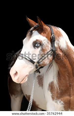 Paint horse looking - stock photo