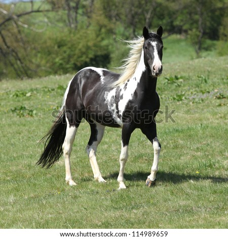 Paint horse mare - stock photo
