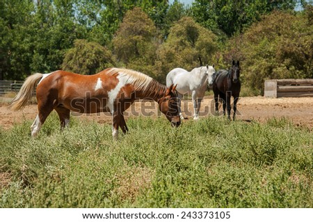 Paint Horse Mare in Pasture - stock photo