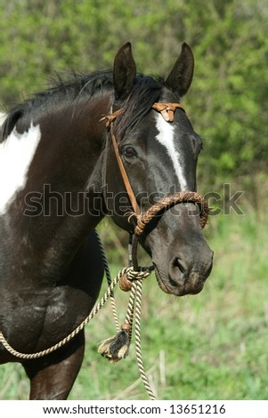 Paint horse mare with bosal - stock photo