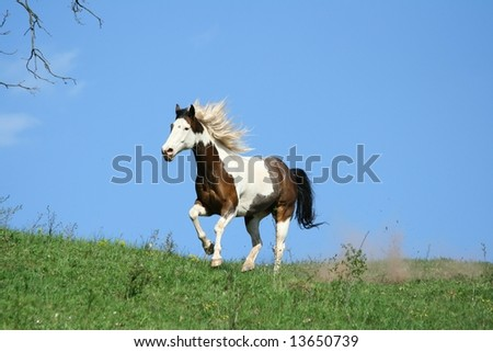 Paint horse running with blue background