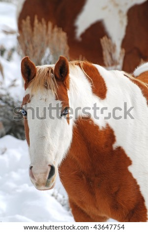 Paint horse with blues eyes grazing in the snow.