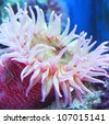 Painted Anemone (Urticina crassicornis) - stock photo