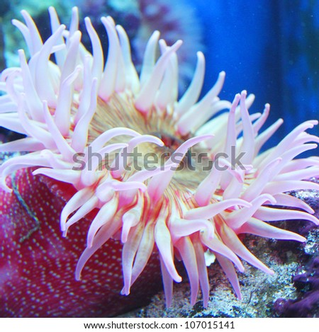 Painted Anemone (Urticina crassicornis) - stock photo