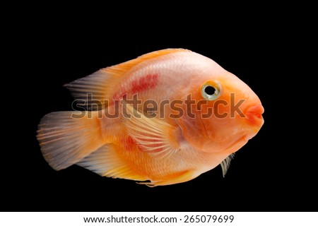 Painted blood parrot cichlid (Cichlasoma sp.) on black background - stock photo