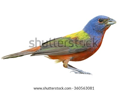 Painted Bunting Isolated on White - stock photo