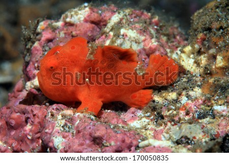 Painted frogfish (Antennarius pictus) on the sea floor - stock photo