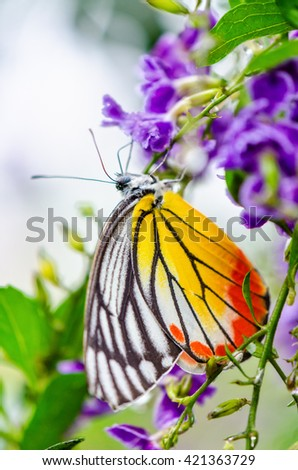 Painted Jezebel (Delias hyparete) Colorful butterfly white yellow and orange black stripes, It is looking for nectar on purple flowers of Golden Dew Drop - stock photo