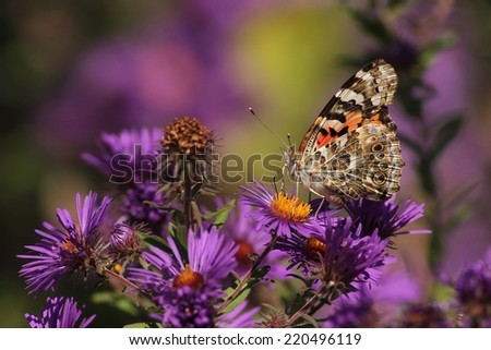 Painted Lady Butterfly - stock photo