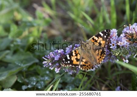 Painted Lady butterfly nectaring on Buddleia flowers, Cornwall, England, UK. - stock photo