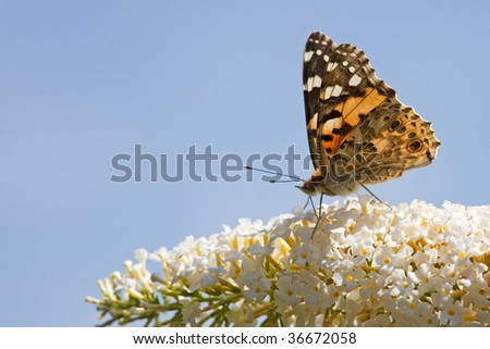 painted lady butterfly on a buddleia - stock photo