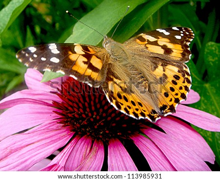 Painted Lady Butterfly on purple Cone Flower - stock photo