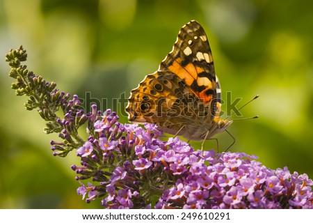 Painted Lady butterfly (vanessa cardu) feeding nectar from a purple butterfly-bush. - stock photo