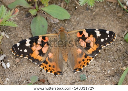 Painted Lady butterfly (Vanessa cardui) in Martin Down Nature Reserve, England - stock photo